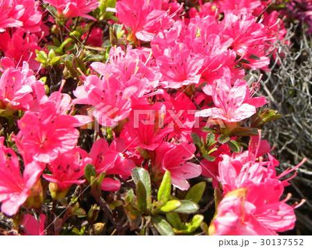 四月に咲くのはツツジの桃色の花 30137552