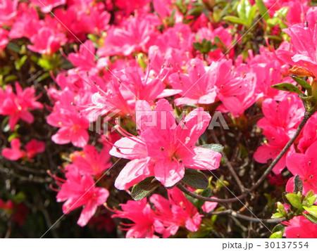 四月に咲くのはツツジの桃色の花 30137554