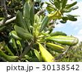 検見川浜の海側道路に沢山植わっているシャリンバイの若葉 30138542