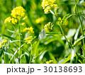 蝶 モンシロチョウ 花の写真 30138693