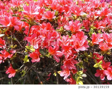 四月に咲くのはツツジの赤色の花 30139159