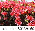 四月に咲くのはツツジの赤色の花 30139160