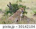 動物 ライオン ケニアの写真 30142104