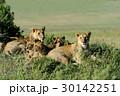 アフリカ大陸 ケニア ライオンの写真 30142251