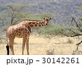 アフリカ アフリカ大陸 きりんの写真 30142261