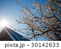 Blossom tree at sunny day. Blue sky on background 30142633