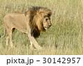 動物 ライオン ケニアの写真 30142957
