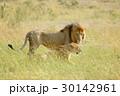 動物 ライオン 野生動物の写真 30142961
