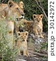 動物 ライオン アフリカ大陸の写真 30142972
