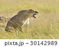 動物 ライオン アフリカ大陸の写真 30142989