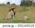 動物 ライオン ケニアの写真 30143019