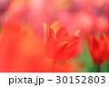赤いかわいいチューリップ 30152803