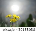 菜の花 太陽の水面反射 30153038