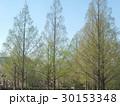 新緑のメタセコイア 30153348