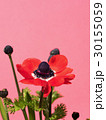 アネモネ 花 咲くの写真 30155059