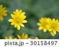 姫立金花 30158497