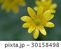 姫立金花 30158498