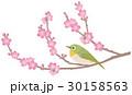 梅 小鳥 目白のイラスト 30158563
