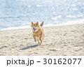 海辺を走る柴犬 30162077