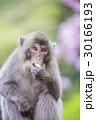 さつまいもを食べる日本猿 30166193