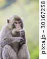 さつまいもを食べる日本猿 30167258