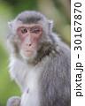 日本猿 30167870