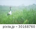 タンチョウ 鶴 霧の写真 30168760