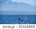 知床の海を泳ぐシャチ 30168868