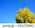 イチョウ 秋 青空の写真 30172691