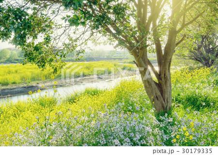 春の川岸、菜の花。 30179335