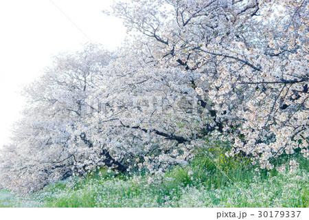 桜の花、ダイコンの花、川辺の風景 30179337