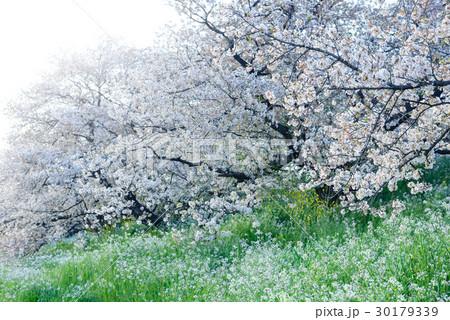桜の花、ダイコンの花、川辺の風景 30179339