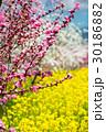 桃花と菜の花 30186882