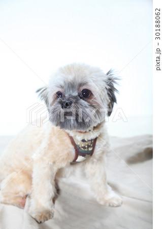 かわいいミックス犬 30188062