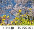 菜の花と桜 30190101