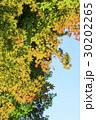 楓 紅葉 葉の写真 30202265