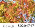 葉 紅葉 楓の写真 30204747