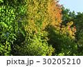 葉 紅葉 楓の写真 30205210