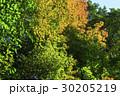 紅葉 葉 楓の写真 30205219