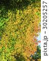 紅葉 葉 楓の写真 30205257