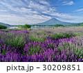 富士山 夏富士 ラベンダー畑の写真 30209851