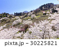 山桜 桜 陸郷の写真 30225821