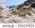 山桜 桜 陸郷の写真 30225824