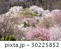 山桜 桜 陸郷の写真 30225852