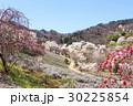 山桜 桜 陸郷の写真 30225854