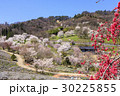 山桜 桜 陸郷の写真 30225855