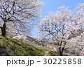山桜 桜 陸郷の写真 30225858