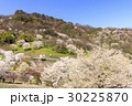 山桜 桜 陸郷の写真 30225870