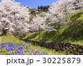 山桜 桜 陸郷の写真 30225879