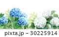 紫陽花 あじさい 花のイラスト 30225914